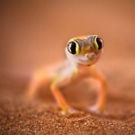 Palmato_gecko